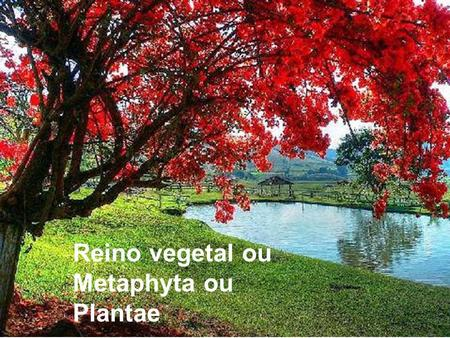 Reino vegetal ou Metaphyta ou Plantae. Quais são os representantes do reino vegetal?