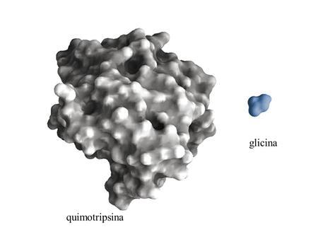 Quimotripsina glicina. Quimotripsina -cataliza hidrólise de ligações peptídicas.